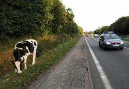 Ah !  les  Vaches …