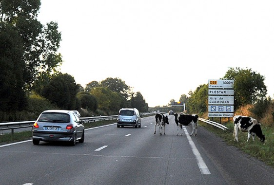 Vaches-2-----S