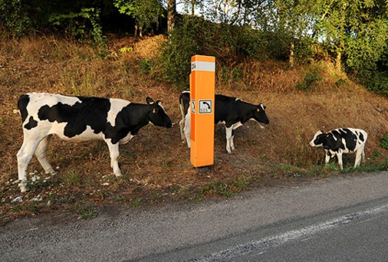 Vaches-3---S
