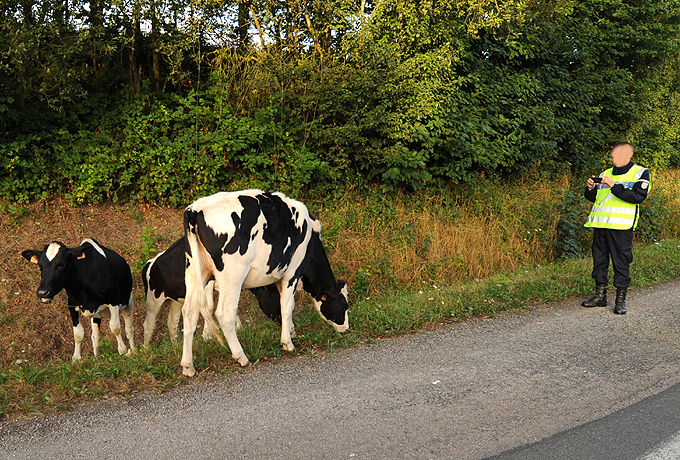 Vaches-photo-S