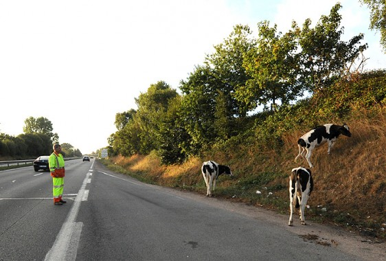 vaches-8-S