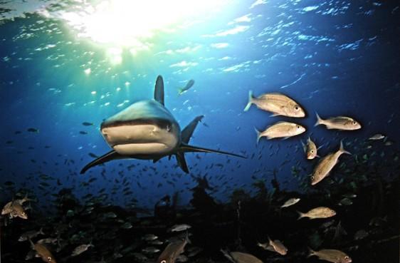 Requin-de-Recif-S